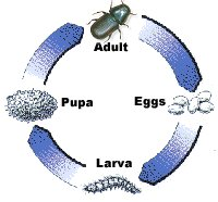 Beetle Reproduction The Mountain Pine Beetle is