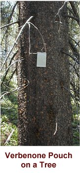 Verbenone pouch on a tree